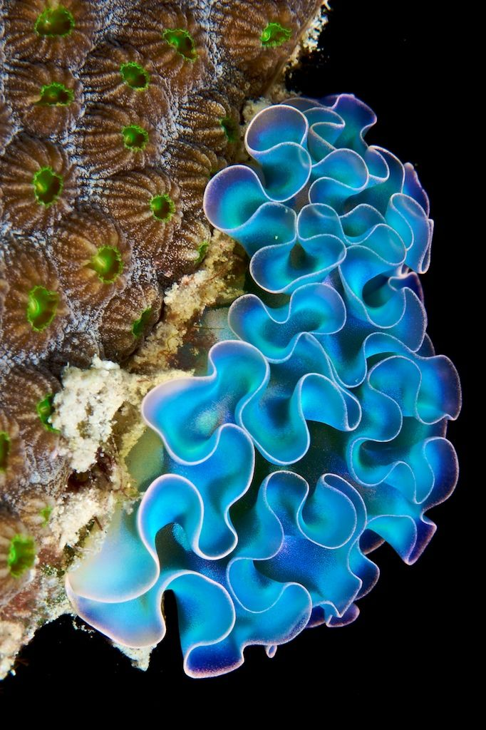 Lettuce Sea Slug from Underwater Photographer Stan Bysshe. Wouldn't this make a fabulous ruffled knit or crochet scarf??