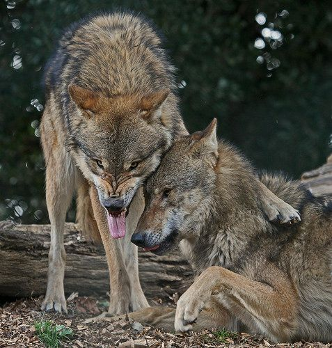 Wolves by Gary Wilson