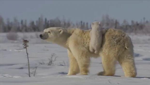 Cuccioli di orso polare che giocano con la loro mamma: il video