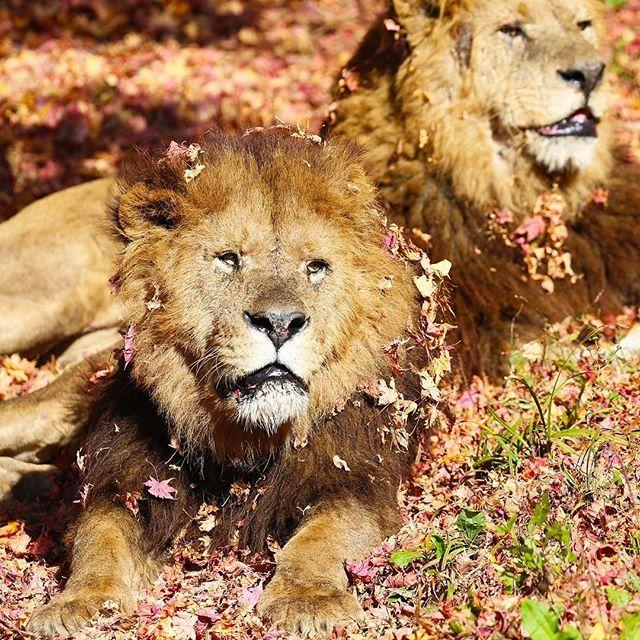 fuji_safari 落ち場のベッドでくつろぐライオン。 Two male lions relax on a bed of leaves. #富士サファリパーク #ライオン #百獣の王 #紅葉 #紅葉と動物 #落ち葉のベッド #動物 #fujisafaripark #lion #malelion #kingofbeasts #fallenleaves #animal #wildlife 富士サファリパーク 2017/11/12 17:11:21