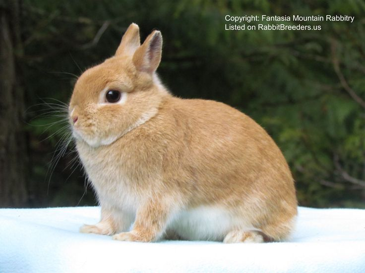 Netherland Dwarf Rabbit Doe Photo