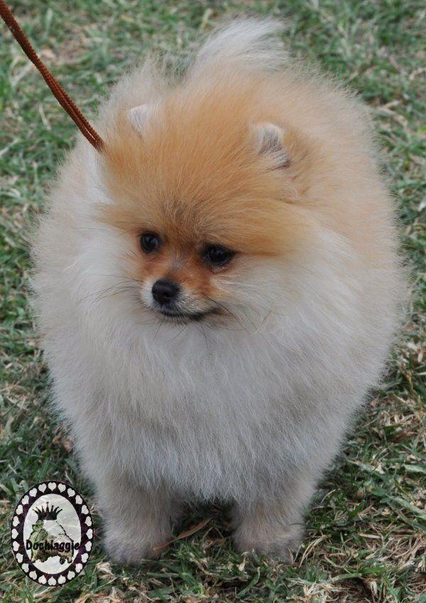 Dochlaggie Pomeranian Puppy Pomeranian Puppy Puppies Pomeranian Breed