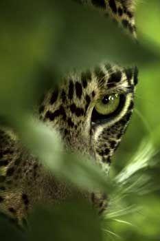 Jaguar in the green