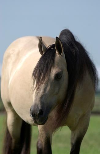Hollywood Dun It - legendary reining stallion