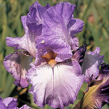 Reblooming irises are changing the look of fall gardens. Find out about reblooming irises, including the types you can grow, which zones they will grow best in, and the planting and maintenance plan for your reblooming irises. #rebloomingirises #gardening #flowers