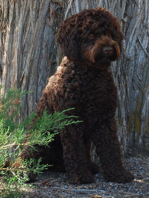 Goldendoodle Wavy Coat | Hard Act To Follow Chocolate Australian Labradoodle curly fleece