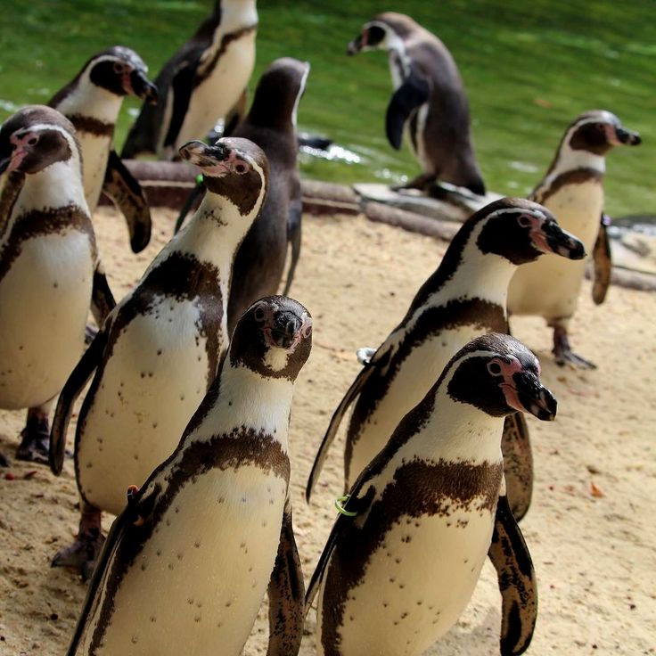 Did you know although Humboldt penguins are found in South America (rather than Antarctica like the emperor penguin) they are no strangers to the cooler weather and are quite comfortable during the winter?! Follow @bestpicsofphilly for more pics. Special thanks to @philadelphiazoo #philadelphiamodel #philadelphiasoul #philadelphiaunion #philadelphiabride #philadelphiaroll #philadelphiamuseumofart #philadelphiaartist #philadelphiaevents #philadelphiafoodie #philadelphiarunner…