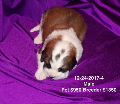 Litter of 4 Saint Bernard puppies for sale in IMPERIAL, MO. ADN-61782 on PuppyFinder.com Gender: Male. Age: 3 Weeks Old