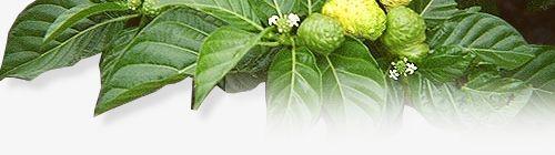 KYANİ - Sağlıklı ve Özgür Bir Gelecek İçin...: Noni Meyvesi Nedir ?