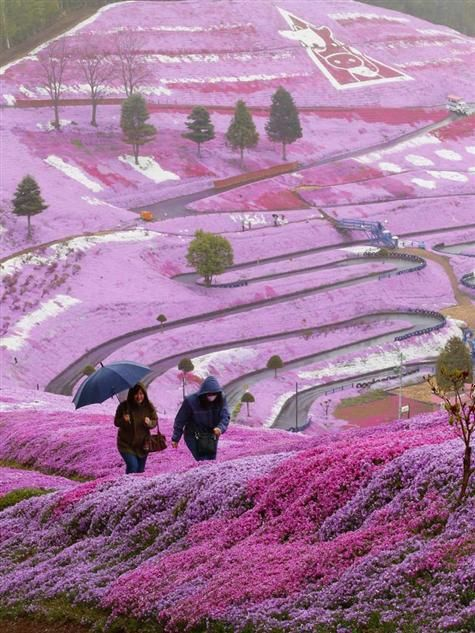 Hillside covered with pink flowers of moss phlox , Hokkaido