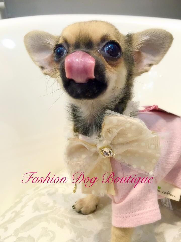 FANTASTICAAAAA Milù❤️❤️lei indossa un collare firmato For Pets Only ❤️lo potete acquistare qui; http://fashion-dog-boutique.com/collari/620-a-for-collari.html