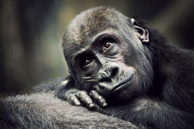 I want to hug him.Animal Pictures, Brookfield Zoos, Animal Kingdom, Animal Photography, Tim Mccoy,  Gorilla Gorilla, Be Free, Black Marketing, Baby Gorilla