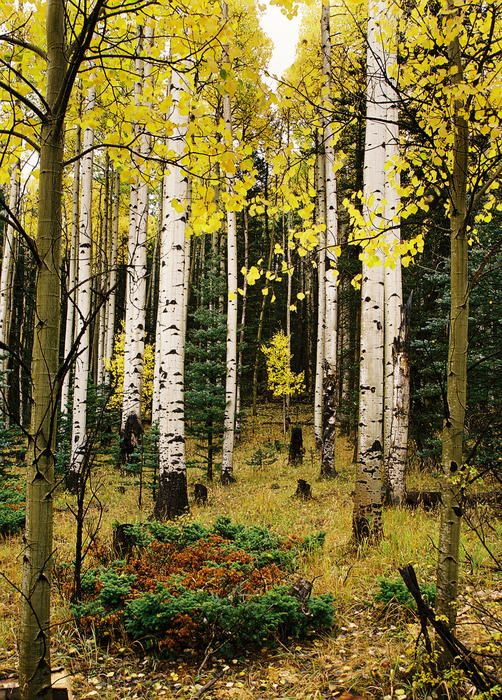 Aspens in the Upper Red River Valley, New Mexico; photo by Ron Weathers