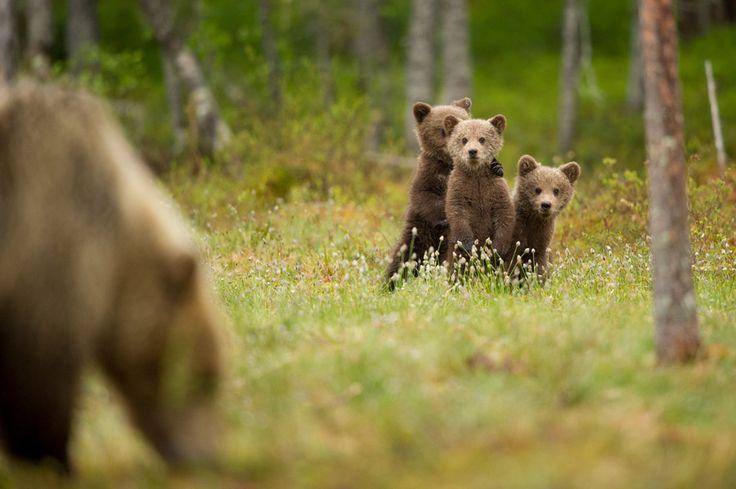 Yavru boz ayılar