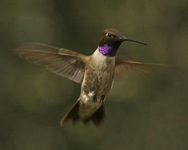 Blackchinned hummingbird by allen lefever hummingbird