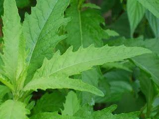 Erva-de-santa-maria (mastruz) – um vermífugo natural | Cura pela Natureza