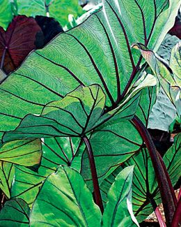 "Colocasia ""Blue Hawaii."" Must be kept from buying one @ USF Botanical Gardens' Spring Plant Festival Apr 14-15. Seriously, an intervention is in order.:"