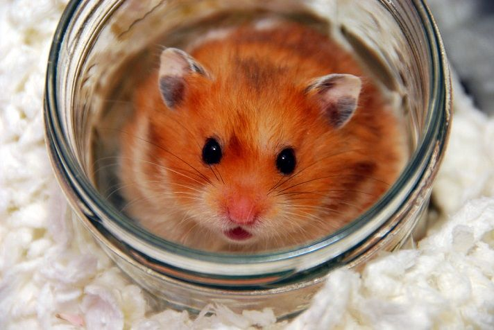 All About Syrian Teddy Bear Hamster Bear Hamster Hamster Hamster Cages For Sale