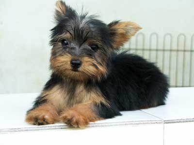 Miniature Yorkshire Terrier