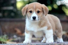 welsh corgi puppies for sale   Zoe Fans Blog