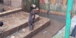 Beruang Kurus di Kebun Binatang Bandung Disorot Media Asing