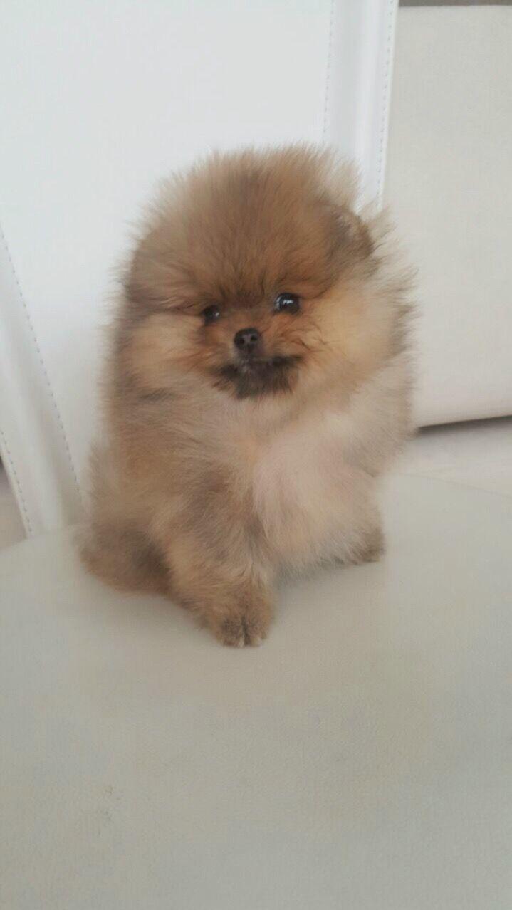 Http://spitzpomeranian.com/?Itemid= Spitz nain Pomeranien disponibles et prix par Newsletter #pomeranian puppies available and prices on Newsletter