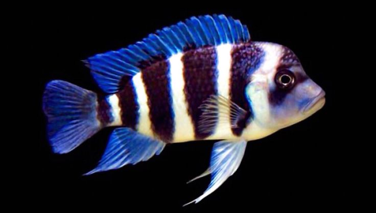 Frontosa cichlid scientific name cyphotilapia for Scientific name of fish