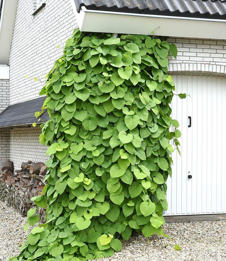 25 best ideas about pfeifenwinde on pinterest rankpflanzen kletterpflanzen balkon and. Black Bedroom Furniture Sets. Home Design Ideas