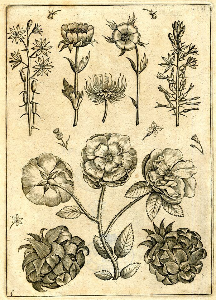 Various types of roses, seen in different positions. Engraving by Adriaen Collaert, c.1587-1589.