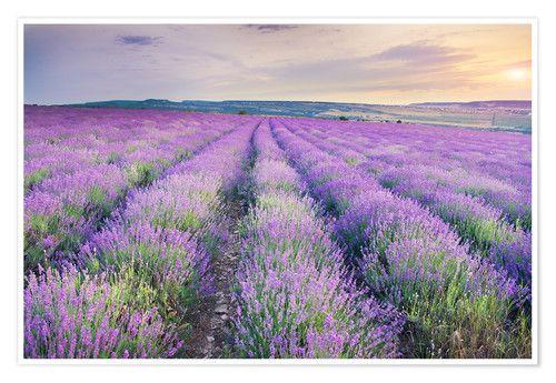 Premium Poster Lavendel Im Sonnenuntergang Lavendelfeld