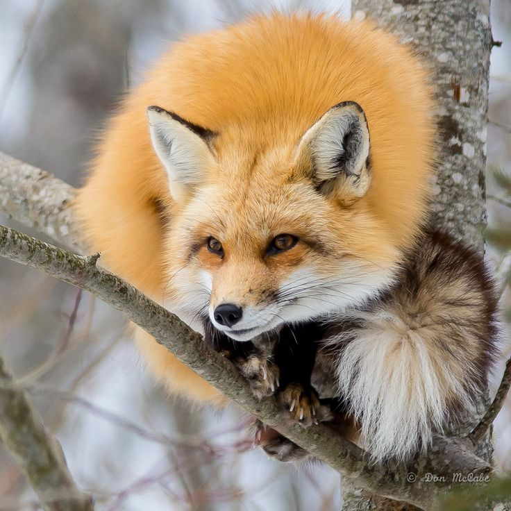 Lovely Young Red Foxy Lady Resting Herself on a Tree Branch. (by Don McCabe).