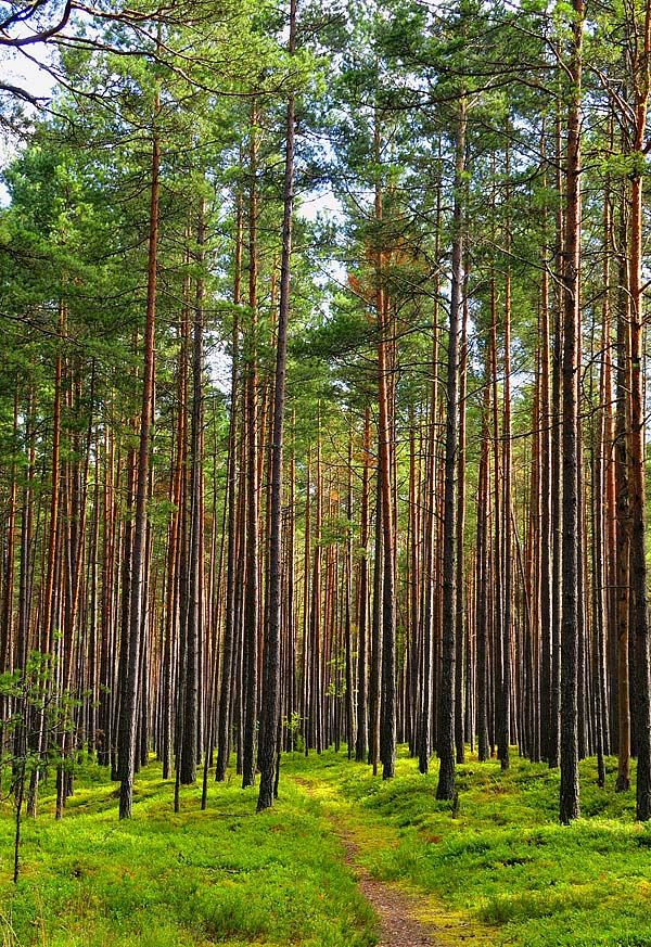 Lithuanian red pine forest