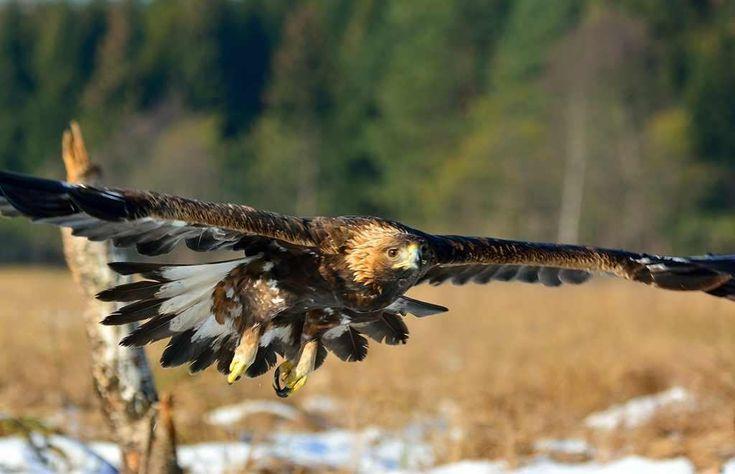 Występujące w polskich Karpatach orły przednie zaczynają tokować i odwiedzać miejsca gniazdowe. W tej części naszego kraju żyje ok. 30 par tych ptaków; ich polska populacja liczy tylko 35 par.