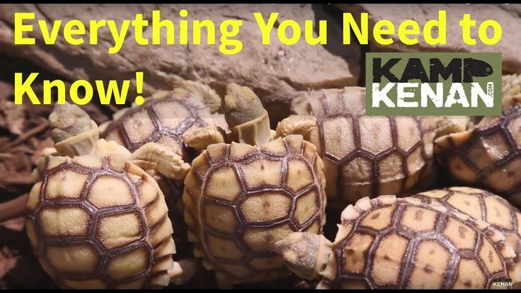 The ULTIMATE SULCATA Tortoise Care INSTRUCTIONS : Kamp Kenan S3 Episode 34 - YouTube
