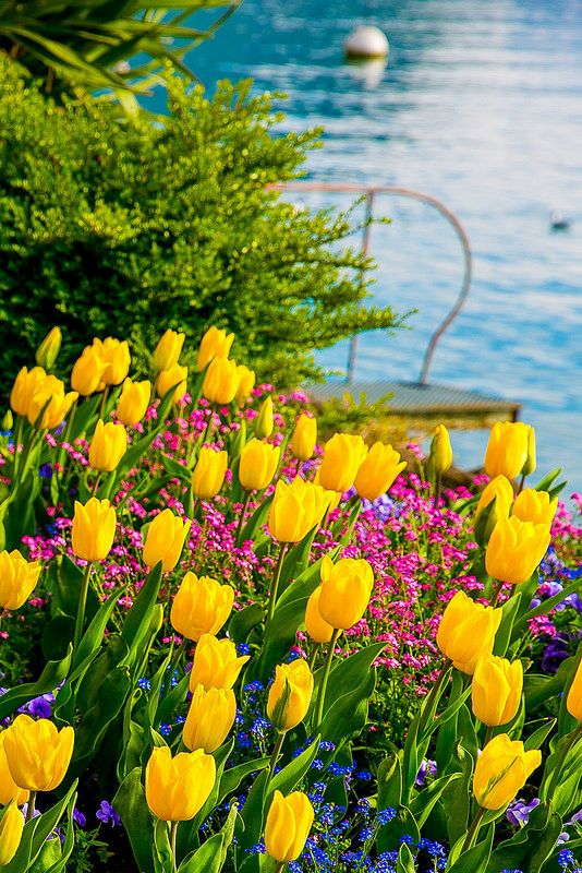 Yellow Tulips of Switzerland, Spring time, Lake Geneva, flowers with the Swiss Alps in the background