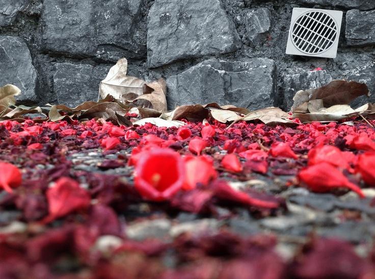 Petal carpet, November 2012