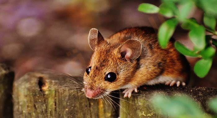 تفسير حلم رؤية عضة الفأر في المنام معنى عضة الفأر في الحلم للعزباء والمتزوجة والحامل والرجل دلالات عضة الفأر في اليد رؤيا عضة الفأر الكبير ر Animals Hamster