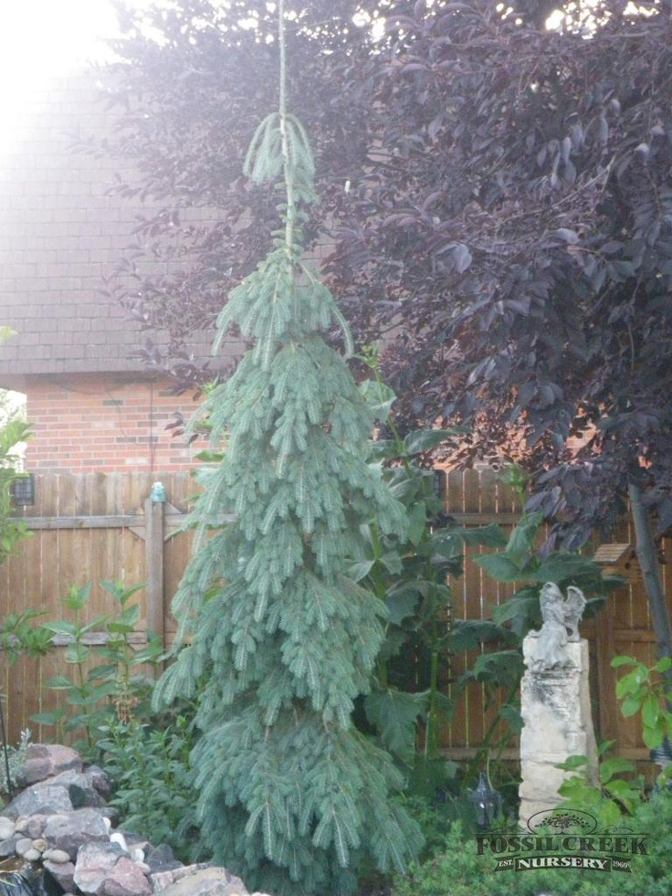 206 best evergreens for small yards images on pinterest for Weeping evergreen trees for small gardens