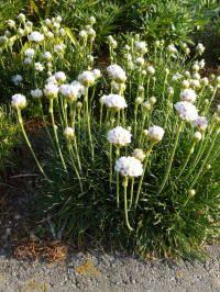 Armeria maritima Alba Engels gras: groenblijvende grasachtige vaste plant, met een compacte groeiwijze en niet veeleisend wat betreft de grondsoort. hoogte tot 20cm, plantafstand 25cm, volle zon, bloeien van mei tot augustus.