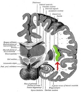 In a study published today in the leading journal Neuron, they have demonstrated that the severity of symptoms such as delusions and hallucinations which are typical in patients with the psychiatric disorder is caused by a disconnection between two important regions in the brain — the insula and the lateral frontal cortex.