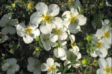 Heesterganzerik 'Abbotswood'  De Potentilla fruticosa 'Abbotswood' (Heesterganzerik 'Abbotswood') is een vrij hoge potentilla (tot 100 cm. hoog). De Heesterganzerik 'Abbotswood' bloeit in de zomermaanden van juni tot en met oktober uitbundig met witte bloemen. De Heesterganzerik 'Abbotswood' heeft blauwgroen blad.