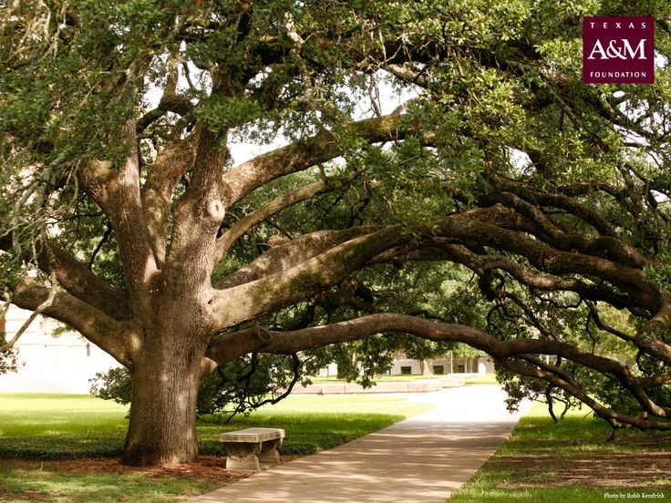The Century Tree at Texas A ~ Check this out too ~ RollTideWarEagle.com sports stories that inform and entertain and Train Deck to learn the rules of the game you love. #Collegefootball Let us know what you think. #Aggies