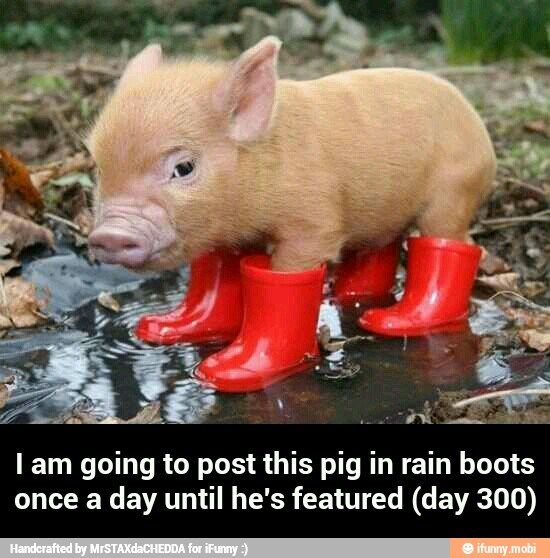 Pig In Rain Boots Ifunny Pigs Pinterest