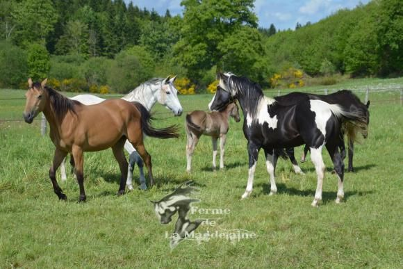 Paint horses en troupeau