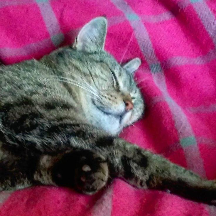 🎤🎶...Watching Eurovision 2017, it's so exciting!!! 💤 #catsnooze #catproblems #yoyovision #tvnight #eurovision2017 #cat #catoftheday #gato #katzen #pets #coolcat #instacats #catsofig #catsofinstagram #meow #catlover #sleepycat #snooze #imonlysleeping #wakeywakey #sover #instacat #cute #catsagram #pussycat #猫 #petcat #mollycatfinland #katter