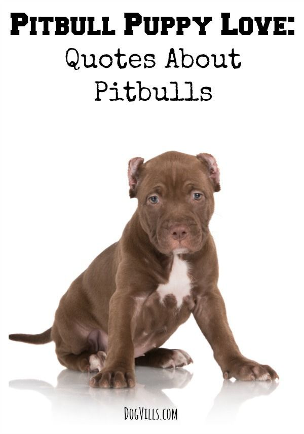 Let's show a little pitbull puppy love today with some of our favorite quotes about pitbulls to demonstrate the beauty and sweetness of the breed!