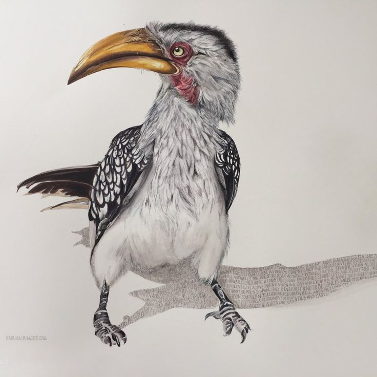 It's not surprising Disney chose this character bird to be Zazu, Mufasa's Chief Officer in The Lion King – standing here in full uniform with his 'hands'  behind his back.  If you look closely, the story of a yellow-billed hornbill is told in graphite in...