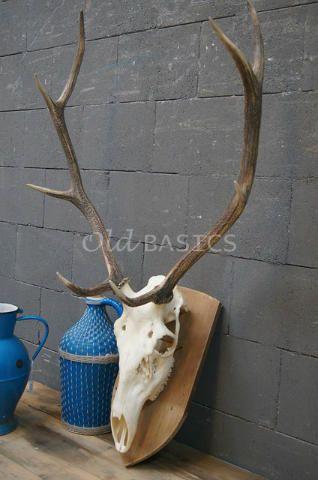 Gewei 80021B - Hertengewei op een blank houten bord. Het gewei heeft lange stangen. Afmetingen: 62x116 centimeter (lxh).