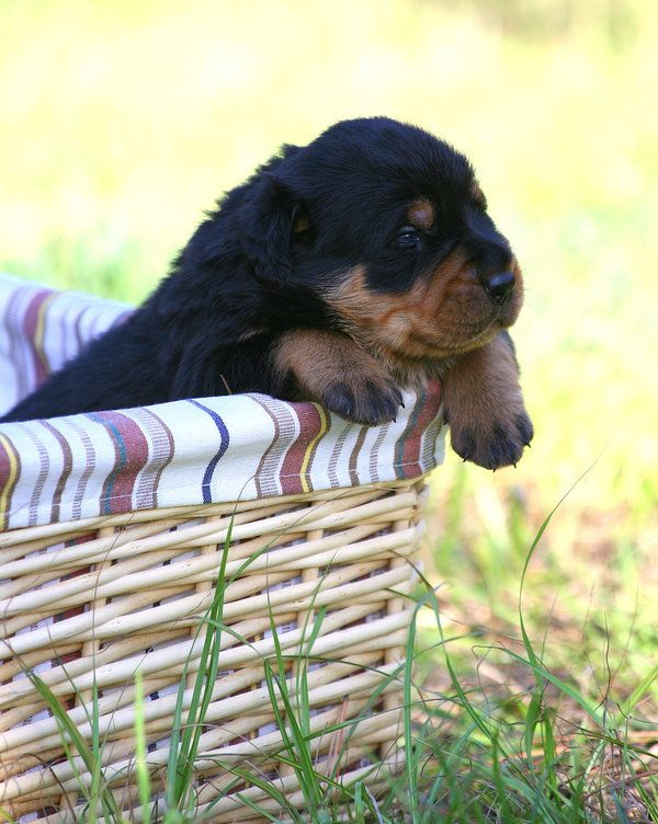 Rottie Cute just a basket full of cuteness.     Rottweiler pup, by *trishvandenberg