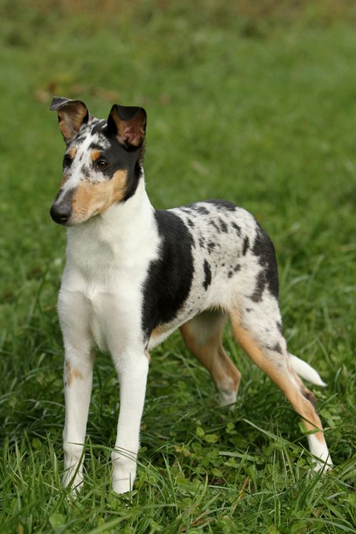 Smooth haired Collie pup - beautiful!